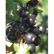 Саженец смородины черной сорт Вернисаж