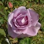 Саженец розы сорт Climbing Blue Moon (Плетистий Блю Мун)