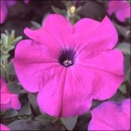 Петуния Ламбада F1 насыщенно-фиолетовая /100 семян/ *Hem Genetics*