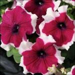 Петуния Лимбо F1 бургунди пикотэ /100 семян/ *Hem Genetics*