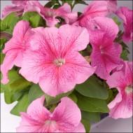 Петуния Лимбо F1 розовая с прожилками /100 семян/ *Hem Genetics*