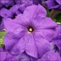 Петуния Лимбо F1 средне-синяя /100 семян/ *Hem Genetics*