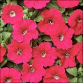 Петуния Карлик F1 темно-розовая /50 семян/ *Cerny*