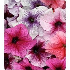 Петуния Виртуоз Berry Mixed /50 семян/ *Kitano Seeds*