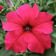 Петуния Виртуоз Deep Rose /50 семян/ *Kitano Seeds*