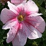 Петуния Виртуоз Raspberry /50 семян/ *Kitano Seeds*