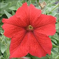 Петуния Виртуоз Red /50 семян/ *Kitano Seeds*