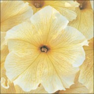 Петуния Виртуоз Sunshine /50 семян/ *Kitano Seeds*