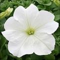Петуния Виртуоз White /50 семян/ *Kitano Seeds*
