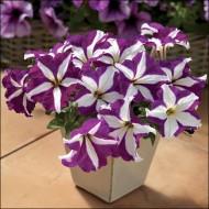 Петуния Тритуния F1 пурпурная звезда /50 семян/ *Syngenta*