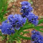 Кермек QIS темно-синий /50 семян/ *Pan American*