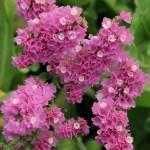 Кермек QIS розовый /50 семян/ *Pan American*