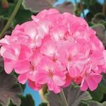 Пеларгония Найт Роуз F1 /10 семян/ *Cerny*