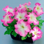 Петуния Танго F1 розовое утро /100 семян/ *Hem Genetics*
