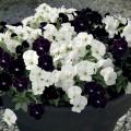 Виола Корина F1 бело-черная смесь /50 семян/ *Hem Genetics*