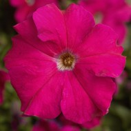 Петуния Тритуния F1 розовая (rose) /50 семян/ *Syngenta*