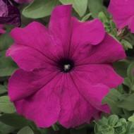 Петуния Тритуния F1 пурпурная (purple) /50 семян/ *Syngenta*