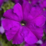 Петуния Тритуния F1 фиолетовая (violet) /50 семян/ *Syngenta*
