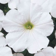 Петуния Мираж F1 белый (white) /50 семян/ *Pan American*