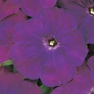 Петуния Мираж F1 пурпурный (purple) /50 семян/ *Pan American*