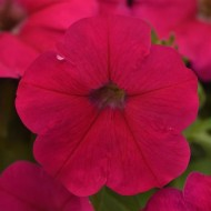 Петуния Мираж F1 розовый (pink) /50 семян/ *Pan American*