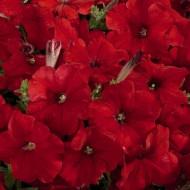 Петуния Селебрети F1 красный (red) /50 семян/ *Benary*