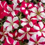 Петуния Селебрети F1 розовая звезда (rose star) /50 семян/ *Benary*