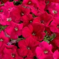 Петуния Селебрети F1 розовый (rose) /50 семян/ *Benary*