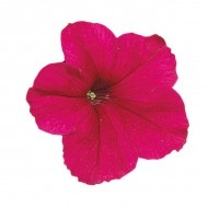 Петуния Фалкон F1 темно-розовый (dark-rose) /50 семян/ *Sakata*