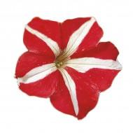 Петуния Фалкон F1 красный c белым (red&white) /50 семян/ *Sakata*