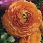 Ранункулюс Меджик F1 оранжевый /10 семян/ *Syngenta*