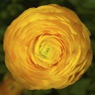 Ранункулюс Меджик F1 желтый /10 семян/ *Syngenta*