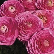 Ранункулюс Меджик F1 розовый /10 семян/ *Syngenta*