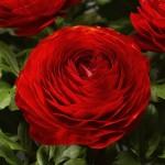 Ранункулюс Меджик F1 красный /10 семян/ *Syngenta*