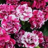Петуния Дуо F1 розово-белая (rose&white) /50 семян/ *Pan American*