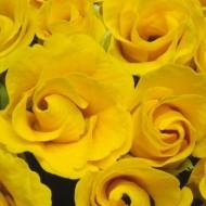 Примула Примлет F1 золотистая (golden shades) /10 семян/ *Pan American*