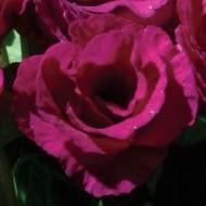 Примула Примлет F1 пурпурная (purple) /10 семян/ *Pan American*