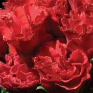 Примула Примлет F1 красная (scarlet red shades) /10 семян/ *Pan American*
