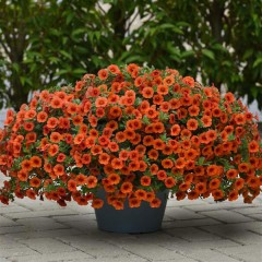 Калибрахоа Каблум F1 оранжевый (orange) /5 мультидраже/ *Pan American*