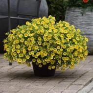 Калибрахоа Каблум F1 желтый (yellow) /5 мультидраже/ *Pan American*