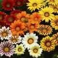 Газания Биг Кисс F1 смесь (mix) /10 семян/ *Syngenta Seeds*