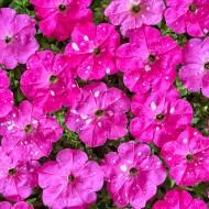 Петуния Дот Стар F1 темно-розовая (deep pink) /50 семян/ *Cerny*