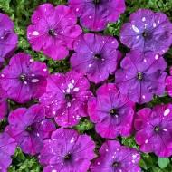Петуния Дот Стар F1 темно-фиолетовая (dark violet) /50 семян/ *Cerny*