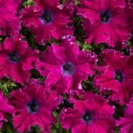 Петуния Афродита F1 пурпурная (purple) /50 гранул/ *Cerny*