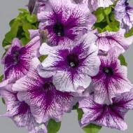 Петуния Лимбо F1 орхид с прожилками (orchid with veined) /100 семян/ *Hem Genetics*