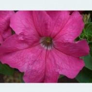 Петуния Лимбо F1 розовая (rose) /100 семян/ *Hem Genetics*