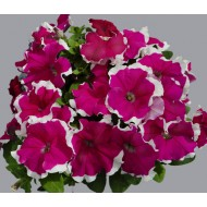 Петуния Лимбо F1 розовое пикоте (rose picote) /100 семян/ *Hem Genetics*