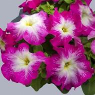 Петуния Лимбо F1 розовое утро (rose morn) /100 семян/ *Hem Genetics*
