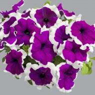 Петуния Лимбо F1 фиолетовое пикоте (violet picote) /100 семян/ *Hem Genetics*