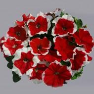 Петуния Лимбо F1 красное пикоте (red picote) /100 семян/ *Hem Genetics*